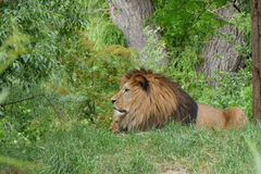 lions image stock