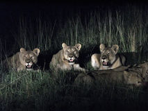 Lions. A flock of lions in the savanna thickets of bushes at night Stock Photography