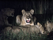 Lions. A flock of lions in the savanna thickets of bushes at night Stock Photos