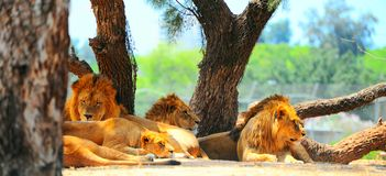 Lions. Rest Most of the Time and Only Hunt Once Every Few Days Stock Images
