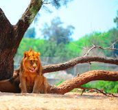 Lions. Rest Most of the Time and Only Hunt Once Every Few Days Stock Photos