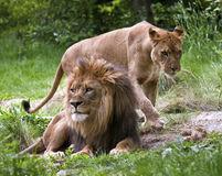 Lions accouplés Photographie stock