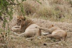 Lions affectueux Image libre de droits