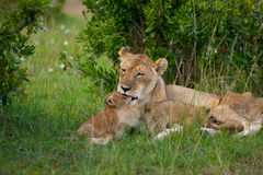 Lions. Africa Animals Baby Carnivore Cat Color Family Kittens Lion Lioness Mother Mum Nature Predator Safari Savannah Sun Tanzania Wildlife africa bush pride Stock Photos