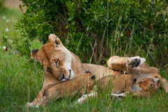 Lions. Africa Animals Baby Carnivore Cat Color Family Kittens Lion Lioness Mother Mum Nature Predator Safari Savannah Sun Tanzania Wildlife africa bush pride Stock Photography