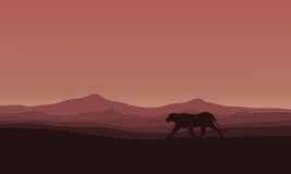 Lions in Africa scenery silhouettes Stock Photos