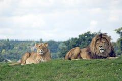 Lions africains Photos libres de droits