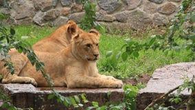 Lions africains banque de vidéos