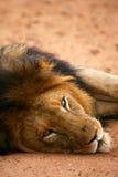 Lions africains Image libre de droits