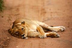 Lions africains Images libres de droits