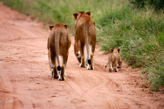Lions africains Photographie stock