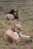 Lions africains Images stock