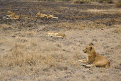 Lions in the African bush Royalty Free Stock Image