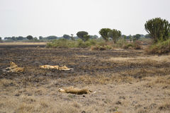 Lions in the African bush Stock Image