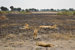Lions in the African bush Stock Images