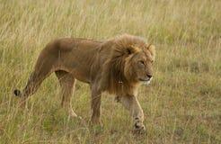 Lions on african savannah in Masai mara Royalty Free Stock Photo