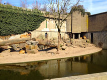 Lions at Artis Zoo. Lions trying to keep warm in the sunshine at Artis Zoo in Amsterdam royalty free stock photo