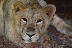 Lions asiatiques Images libres de droits