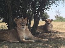 Lions au parc Photo stock