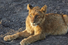 Lions au repos Photographie stock