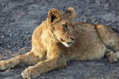 Lions au repos Photos stock