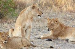 Lions au repos Image libre de droits