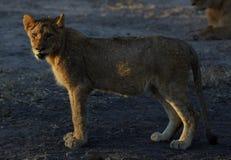 Lions au repos Photographie stock libre de droits