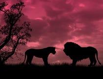 Lions on beautiful sunset Stock Photography