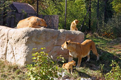 Lions on the big stone Stock Images