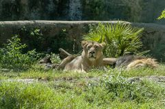 Lions at Bioparco Royalty Free Stock Photos