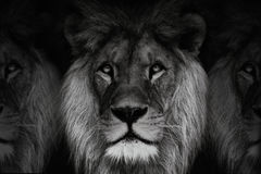 Lions. Black and white three lions. Dominant lion, king of animal. Black and white portrait lion Stock Image