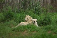 Lions blancs Photographie stock libre de droits