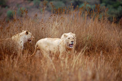 lions blancs Photos stock