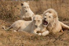 Lions blancs Afrique du Sud photographie stock libre de droits