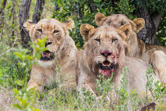 Lions with blood on face South Africa Royalty Free Stock Photography