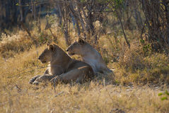 Lions Botswana. A pair of Lions in Botswana Royalty Free Stock Images
