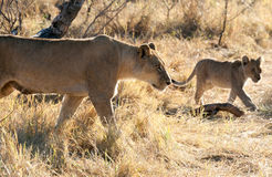 Lions, Botswana Photographie stock