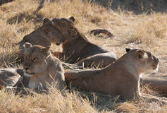 Lions, Botswana Royalty Free Stock Photo