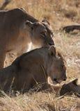 Lions, Botswana Stock Images