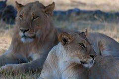 Lions, Botswana Stock Photos