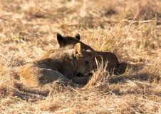 Lions, Botswana Stock Photography