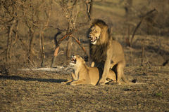 Lions breeding South Africa stock photo