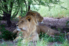Lions in the bush Royalty Free Stock Photography