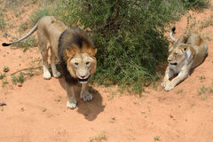 Lions in bushveld, Namibia. Couple of an adult lions in African bushveld, Namibia. Africa. Male lion roars. View from above Stock Image