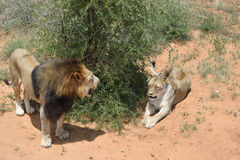 Lions in bushveld, Namibia. Couple of an adult lions in African bushveld, Namibia. Africa. View from above Stock Photography