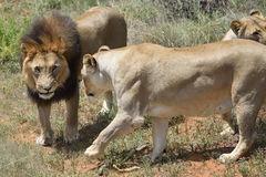 Lions in bushveld, Namibia. Pride of an adult lions in African bushveld, Namibia. Africa Stock Images