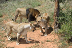 Lions in bushveld, Namibia. Pride of an adult lions in African bushveld, Namibia. Africa Stock Photo