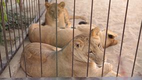 A lioness in in a cage looks through an aviary. The lioness is resting in the zoo aviary, a group of lions resting in stock video