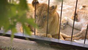 A lioness in in a cage looks through an aviary. The lioness is resting in the zoo aviary, a group of lions resting in stock video footage
