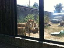 Lions in captivity Stock Photo
